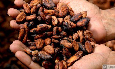 cacao de Guatemala
