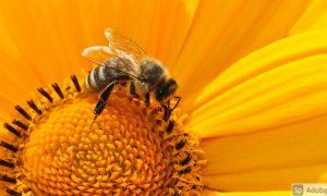 abejas y la polinización